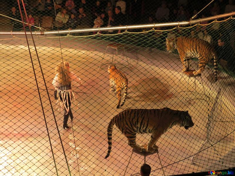 Circus tigers №15812