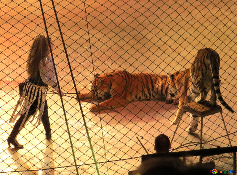 Circus tigers №15821