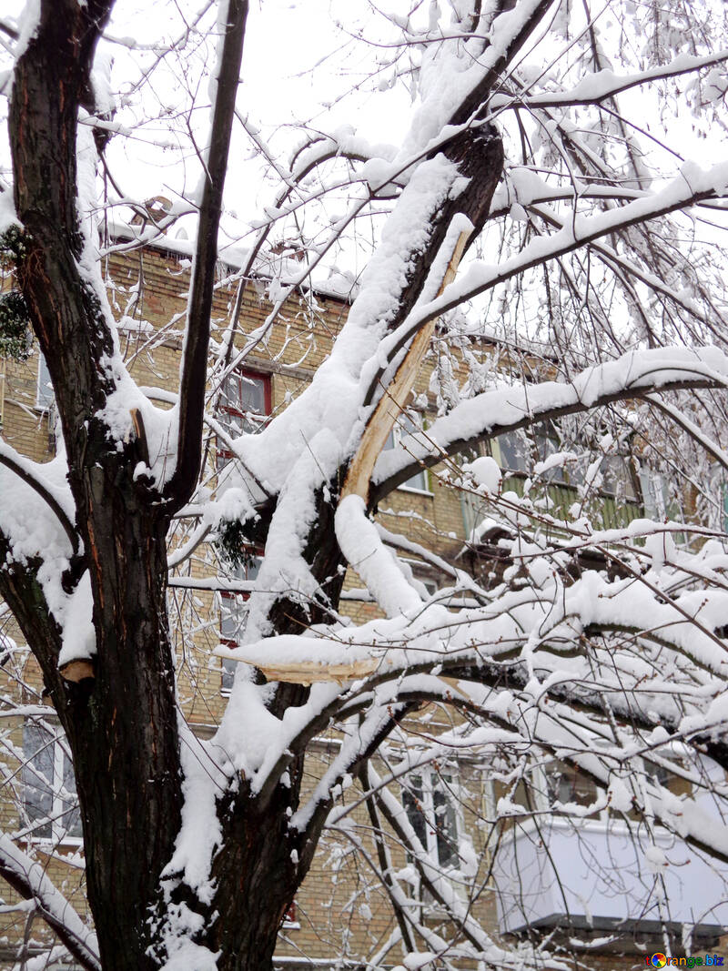Tree could not stand the snow №15566