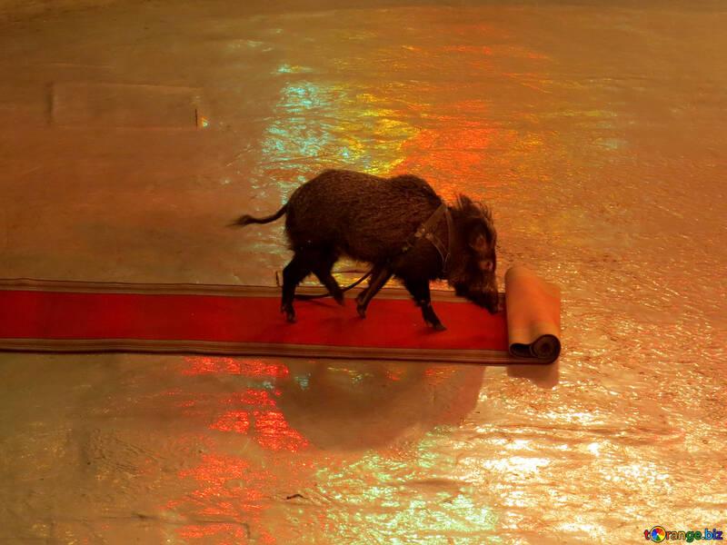 Circus pig №15757