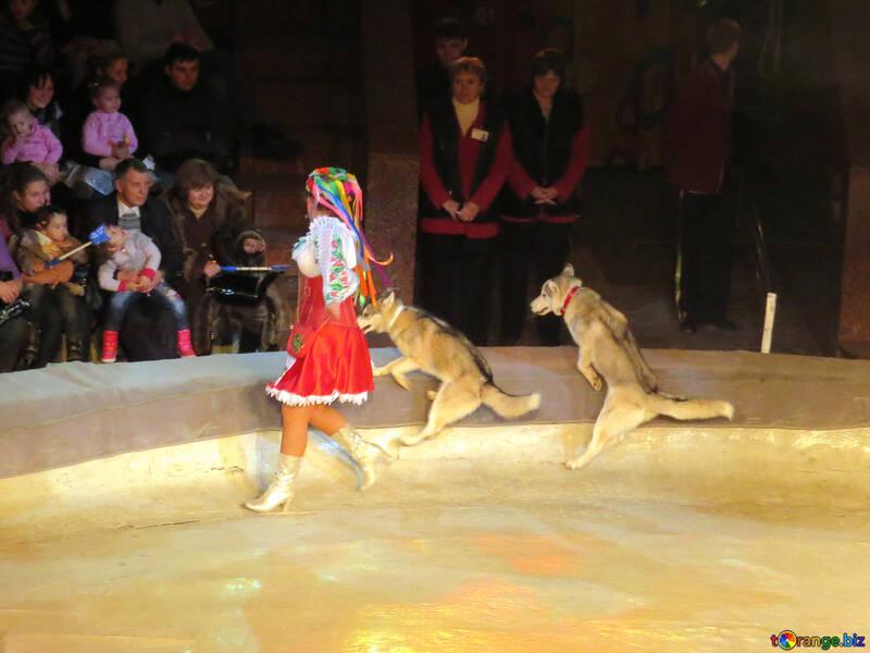 Circo lupi №15755