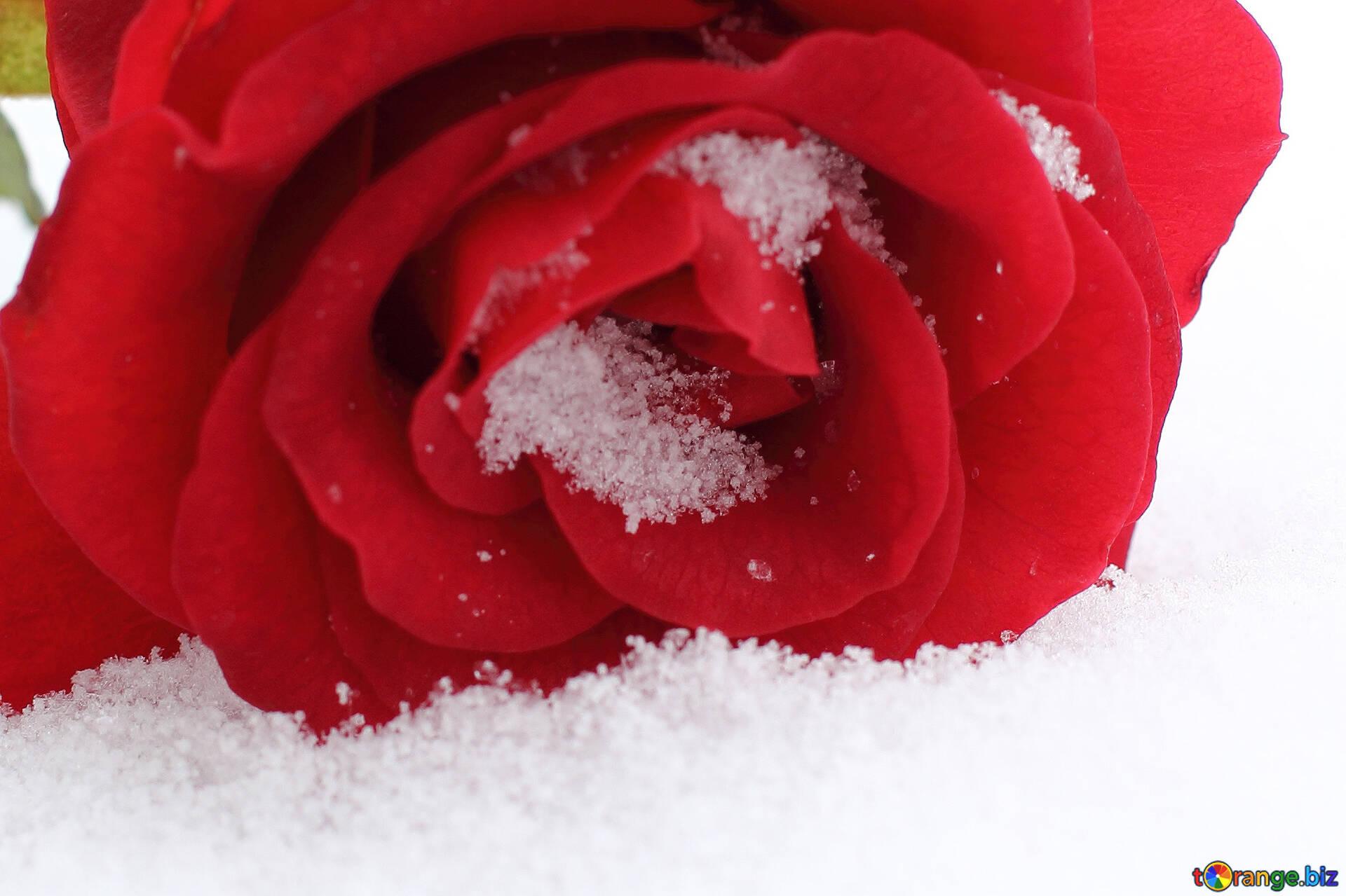 Rote Blume Schone Rote Blume Im Schnee Rose 16973