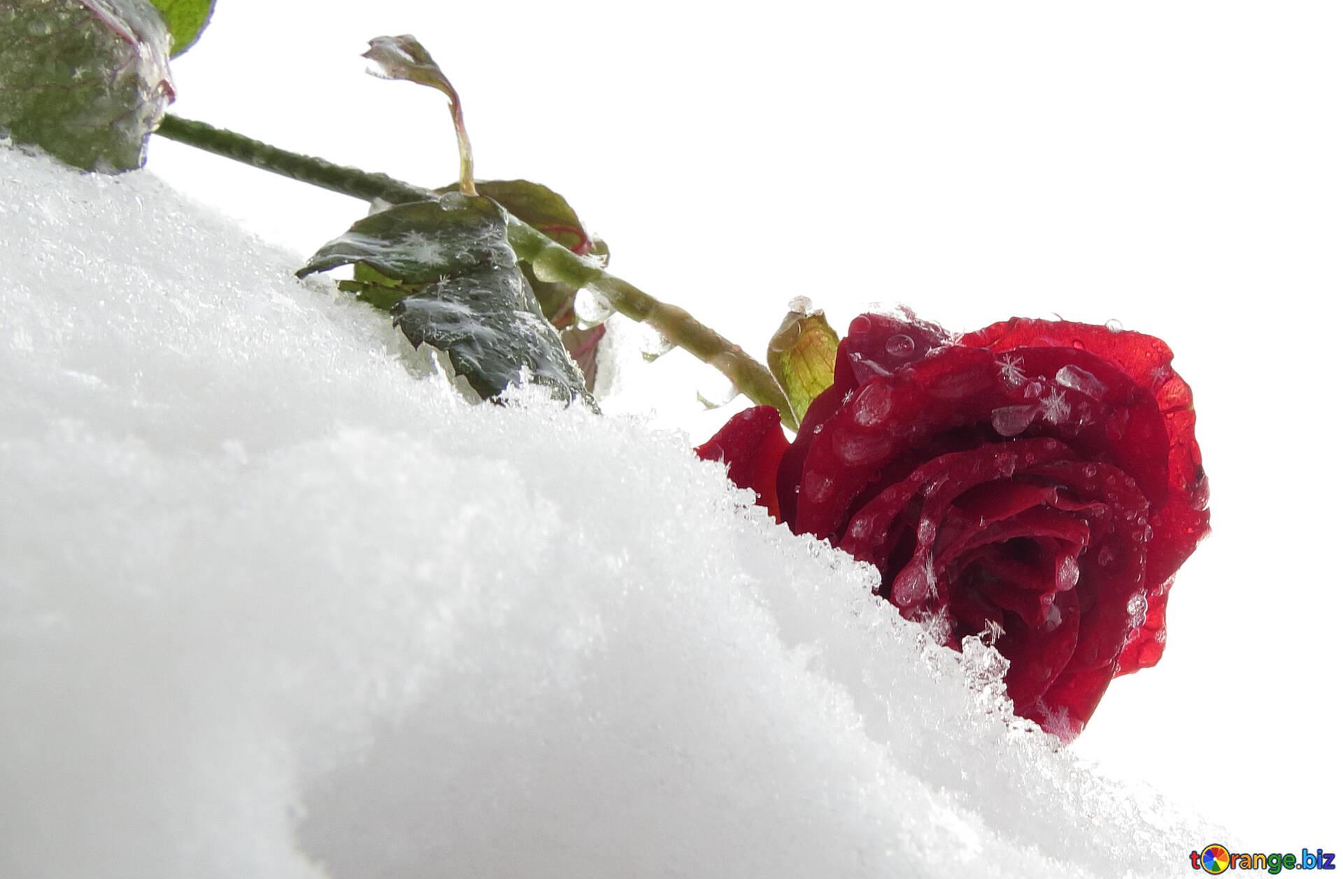 Картинки роза в снегу на ступени