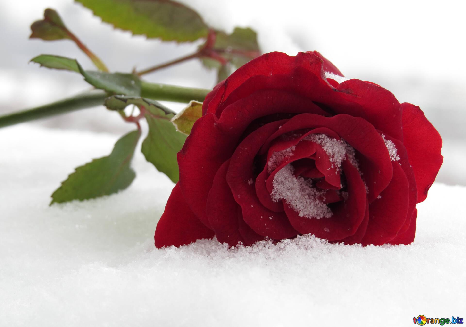 Открытка вербным, картинки снег розы