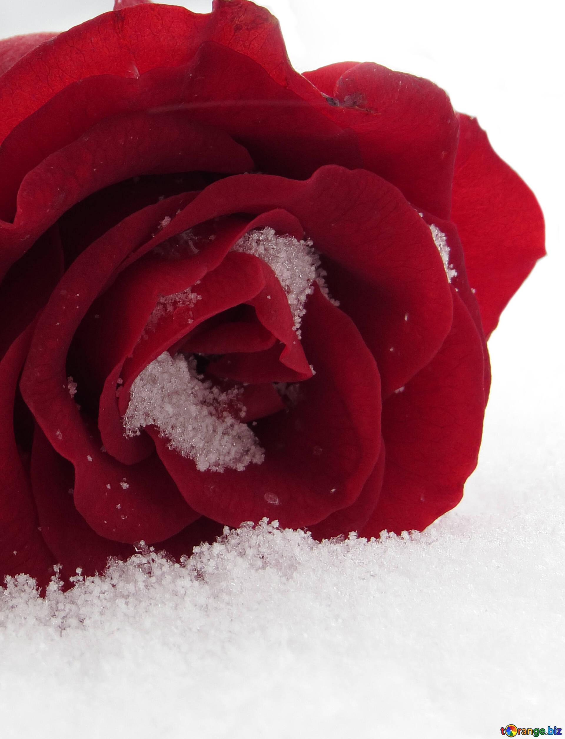 Красивые картинки розы в снегу, телефон днем