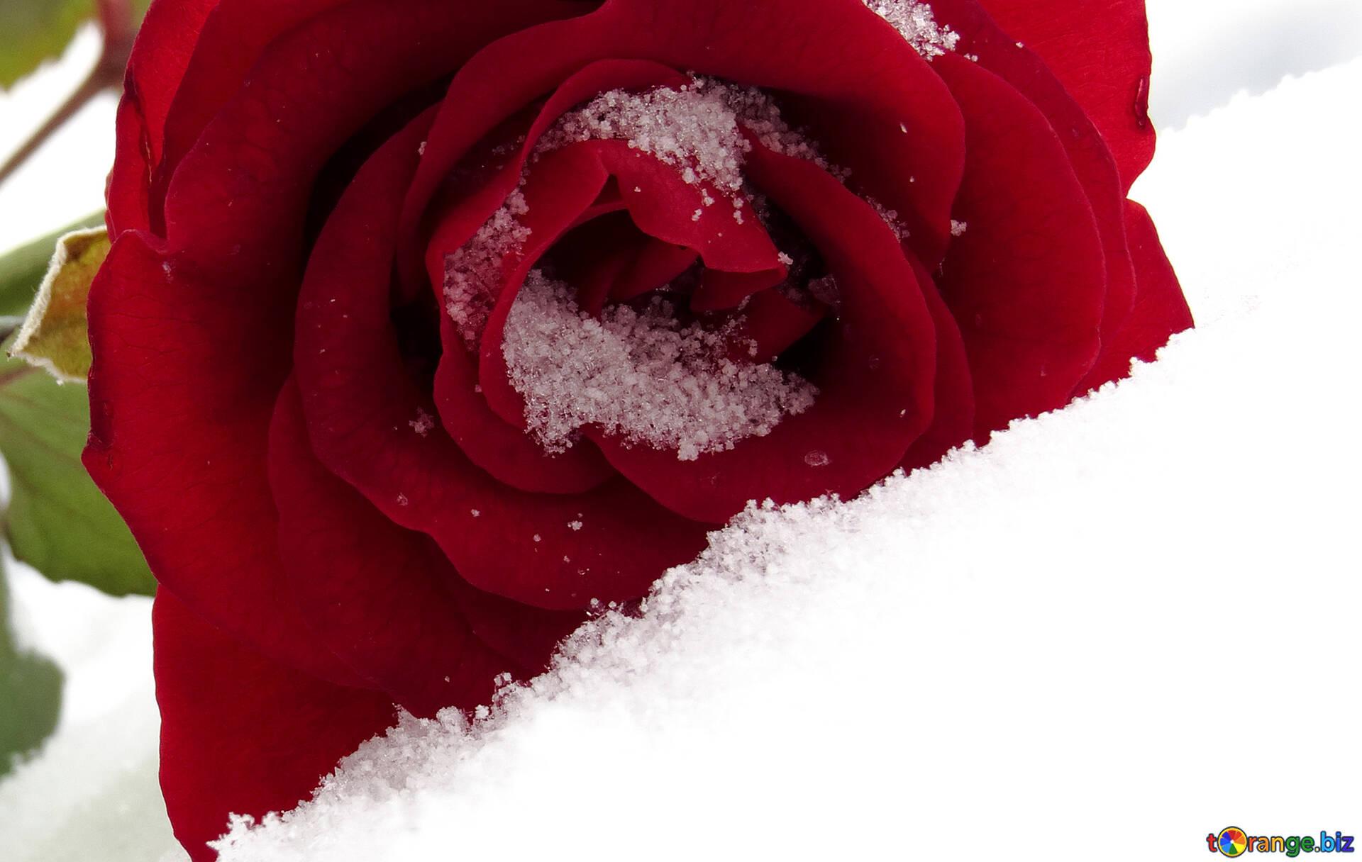 Открытки днем, картинка розы в снегу