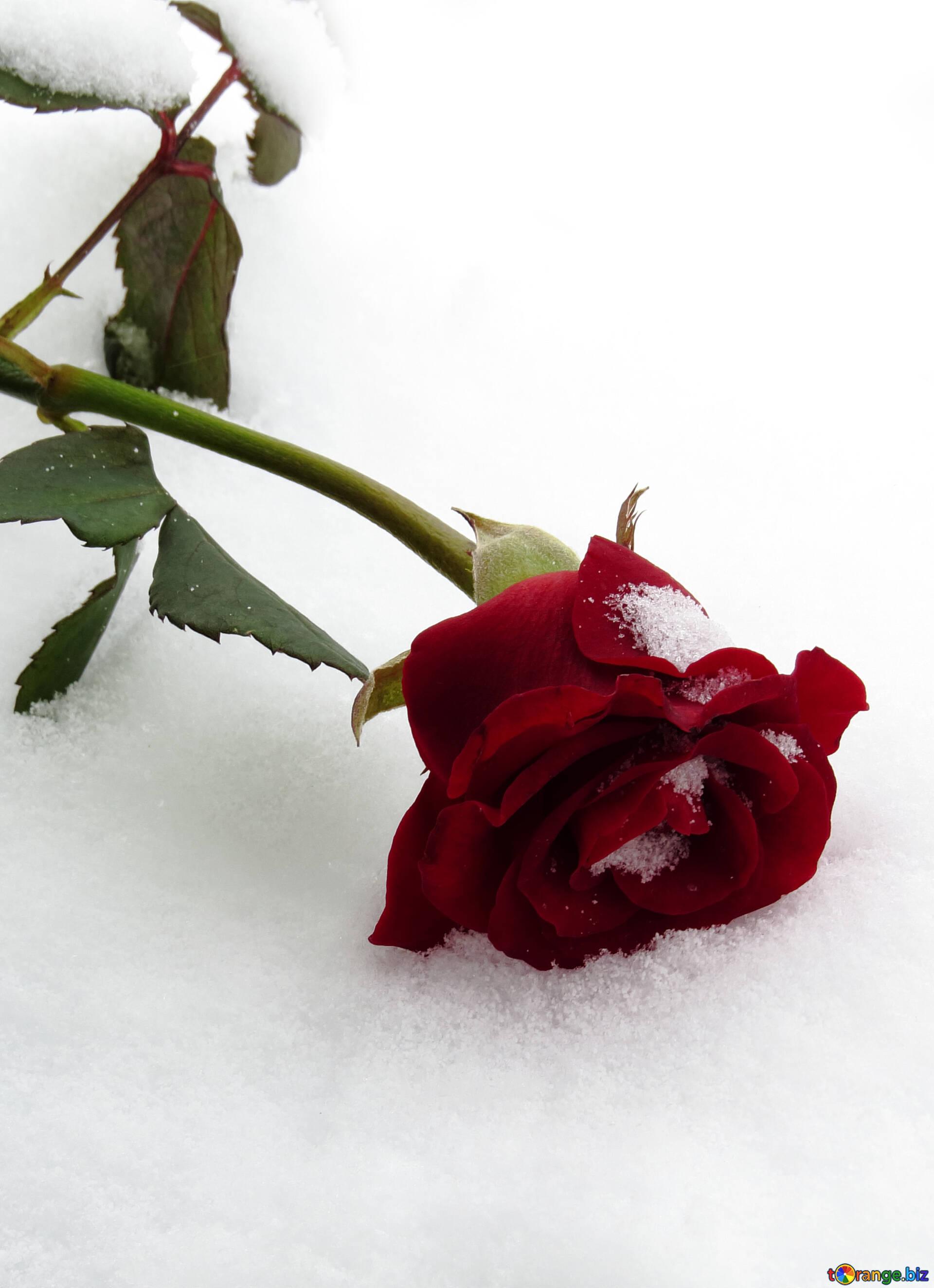Подруга любимая, роза в снегу картинки