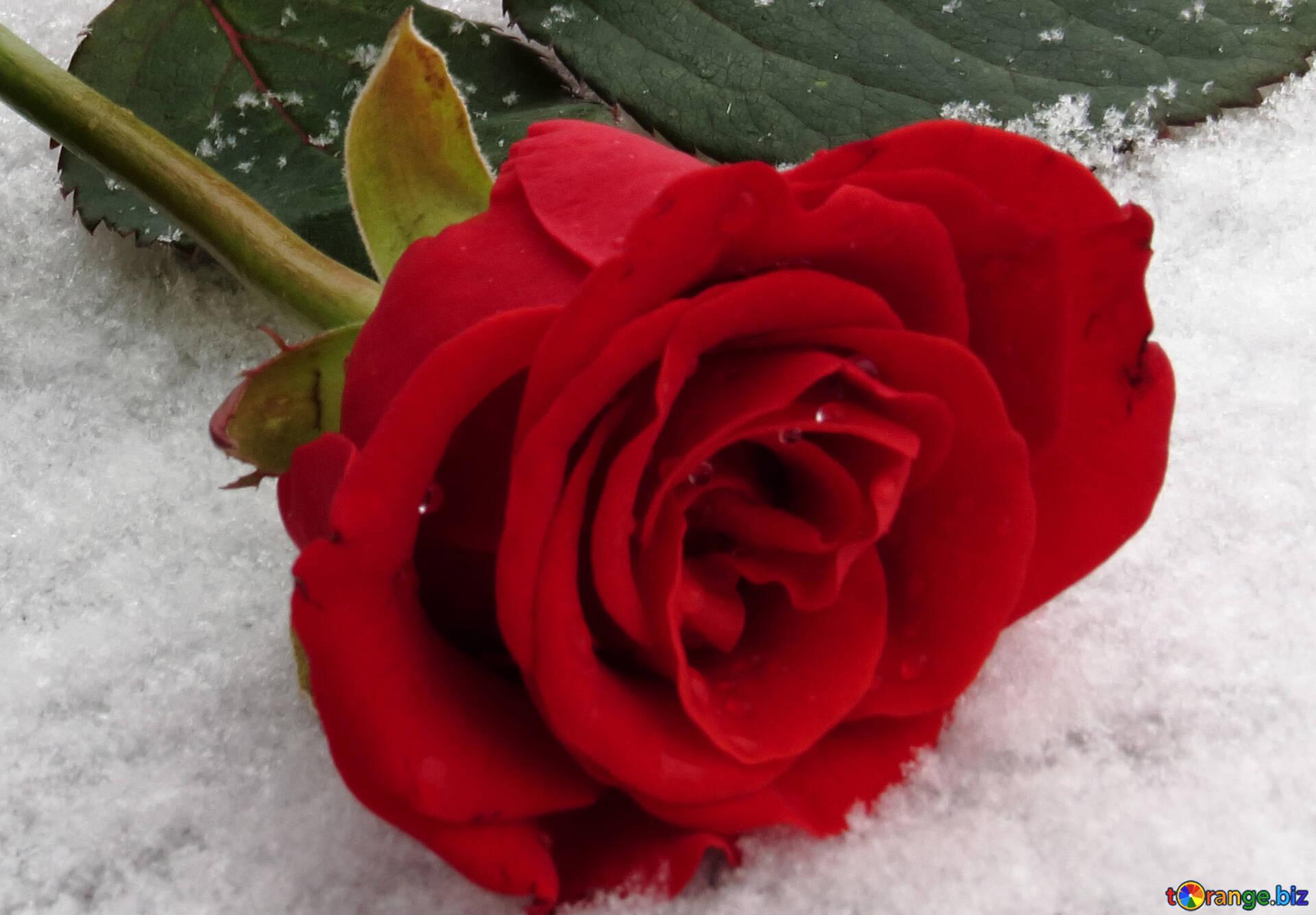 Розы на снегу картинки фото