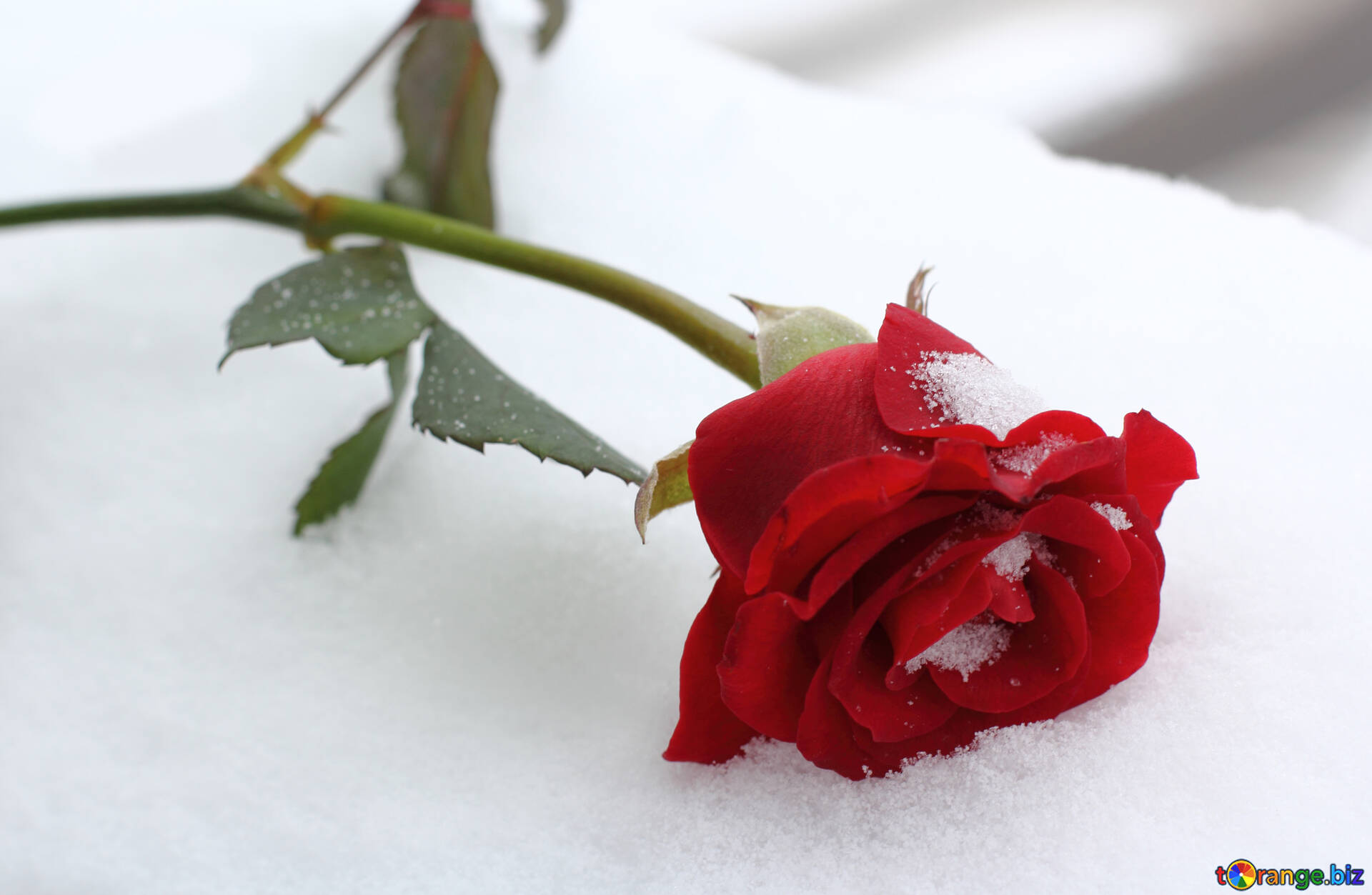Winter Rose Winter Rose Rose 16970