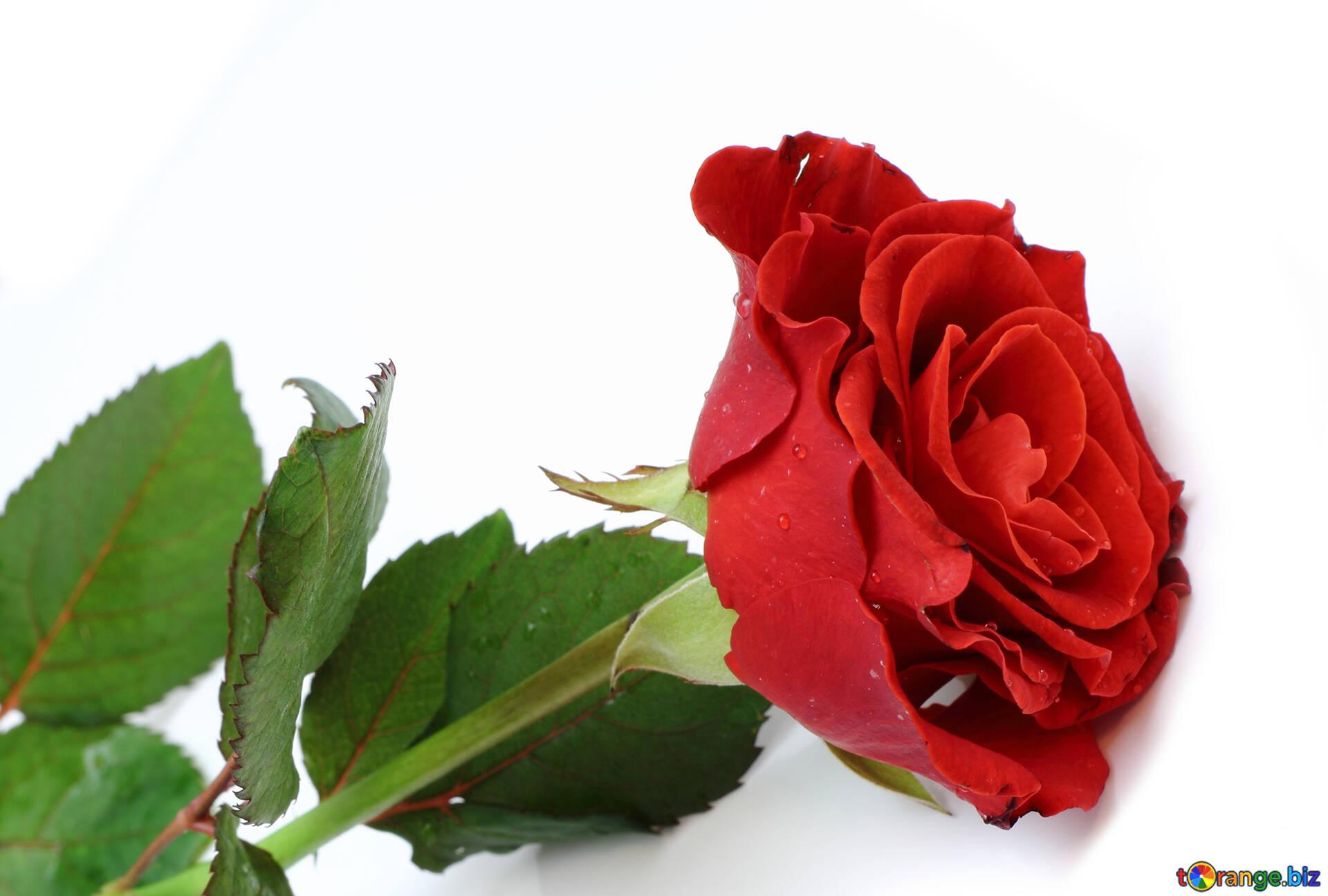 Rosa Rossa Rosa Rossa Sdraiato Sul Bianco Rosa 16888
