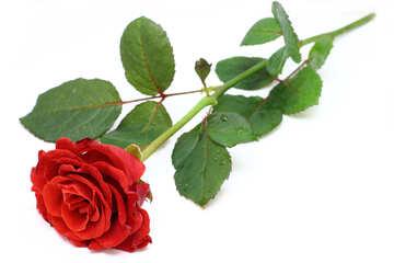 Isolierte rote Blume №16892