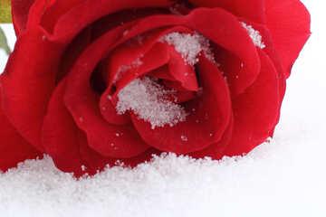 Schöne rote Blume im Schnee №16973