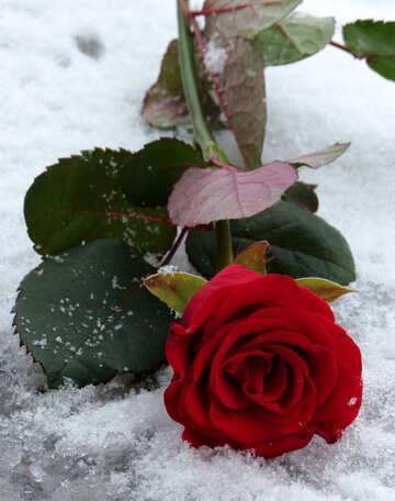 Rote Blume im Schnee №16926