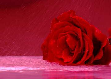 A rose in the rain №16902