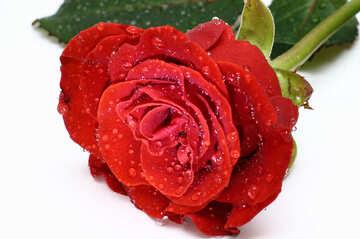 Роза №16882
