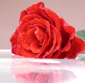 Rose №16910