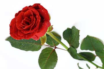 Fiore rosa №16880