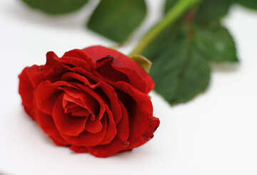 Helle Rose №16896