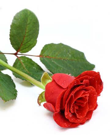 Rugiada su rosa №16872