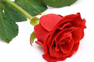 Rote Rose №16885