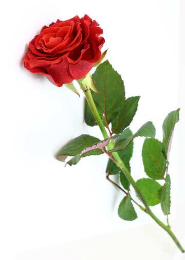 Rosso su bianco №16889