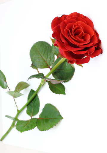 Red beautiful rose №16891