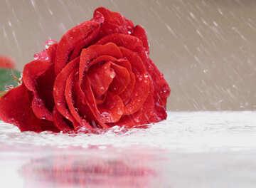 Rose and rain №16903