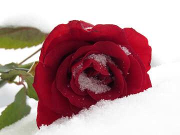 Eine Rose im Schnee №16945