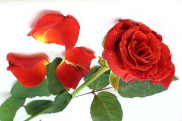 Rosa al soffitto №16879