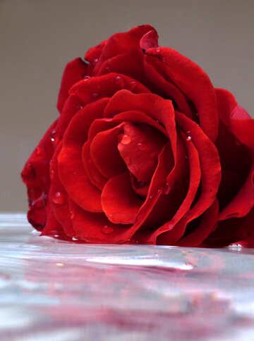 Rose №16912