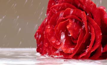 Rose in the rain №16907