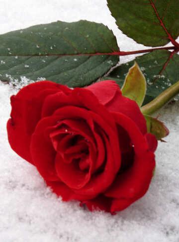 Rose snow №16936