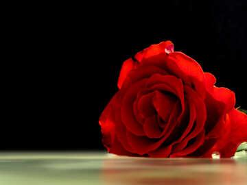 Rose №16918
