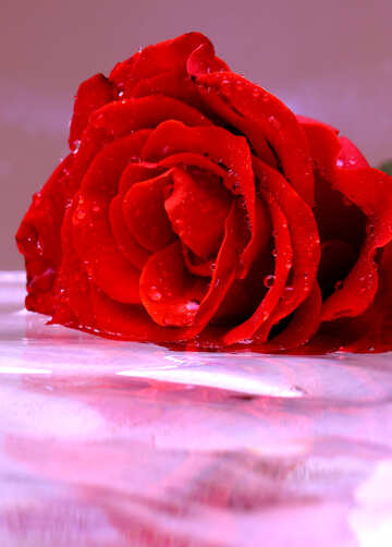 Beautiful rose №16899