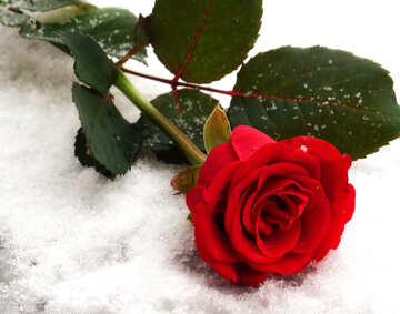 Rose in snow №16924