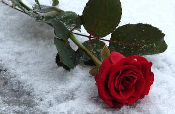 Snow Rose №16925