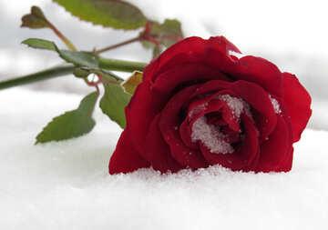 Rose im Schnee №16943