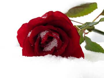 Rose im Schnee №16944