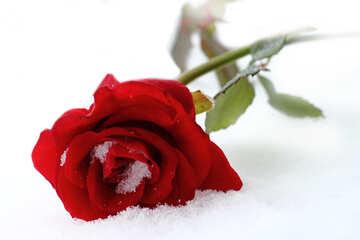 Rose im Schnee №16968