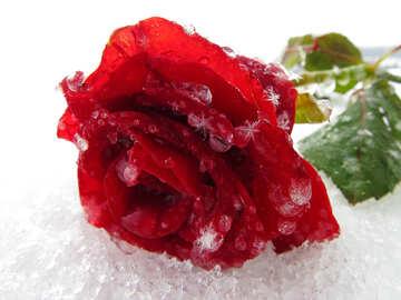 Rose im Schnee №16983