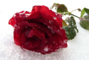 Rose in the snow №16998