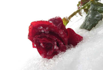 Beautiful rose in the snow №16985