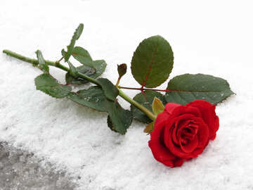 Beautiful rose lying in the snow №16938