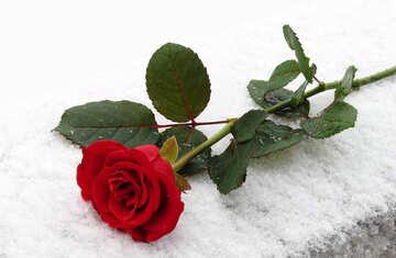 Rose ganz auf Schnee №16937