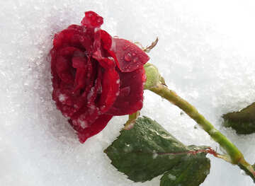 Rose and Ice №16991
