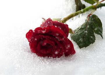 Rose liegt im Schnee №16987