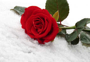 Red rose on the white snow №16930