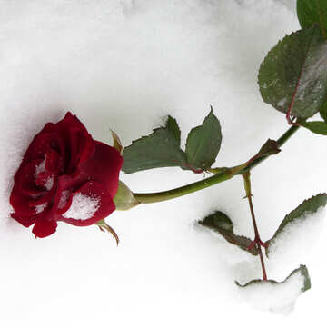 Wilted roses in winter on snow №16954