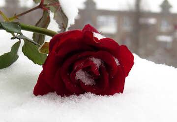 Winter rose №16951