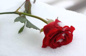 Winter Rose №16970